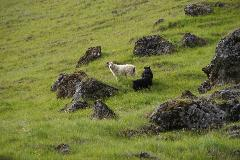 Sheep grazing on hill in South Iceland