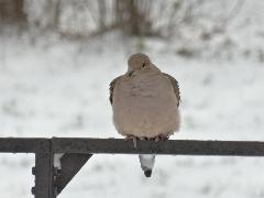 Mourning Dove - Backyard Winter