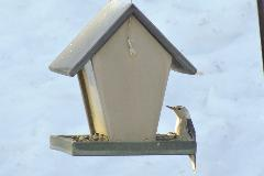 White Breasted Nuthatch - feeding in winter