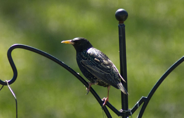 european starling on perch in ontario photo