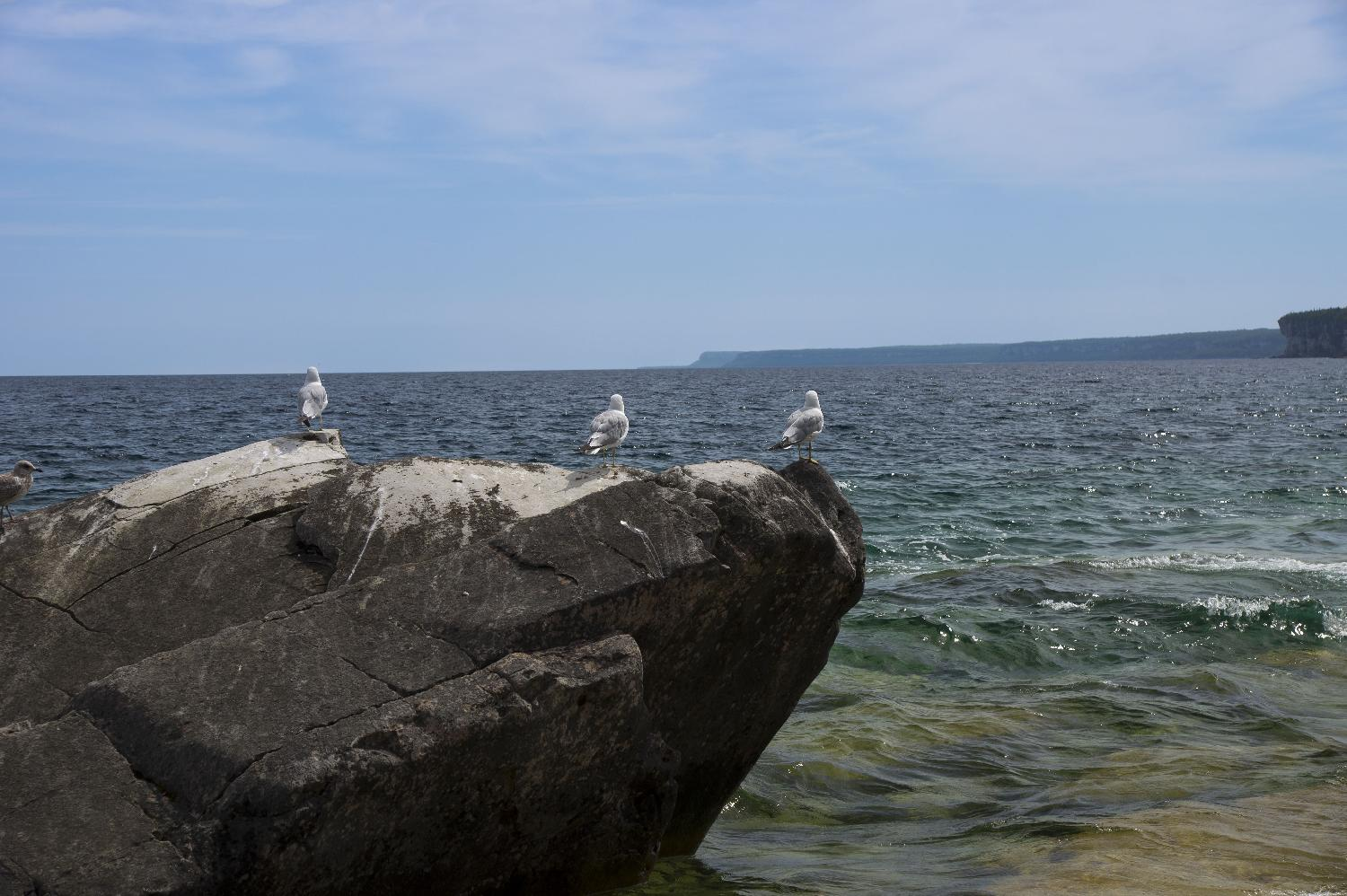 Seagulls are perched on a rock in Bruce Peninsula National Park.  Cabot Head can be seen in the background.