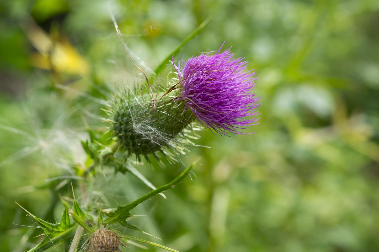 Photo of a Field Thistle, also known as the species Cirsium discolor.  Taken in a forest in Barrie, Ontario, Canada