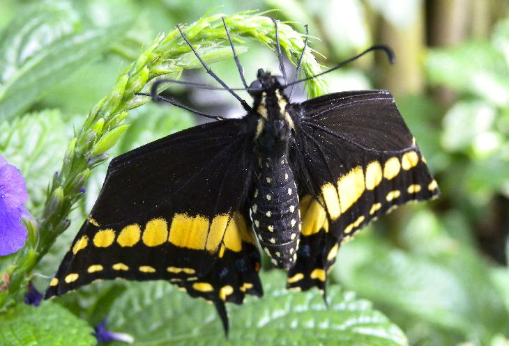 Photo of the Giant Swallowtail Butterfly at the Niagara Butterfly Conservatory.