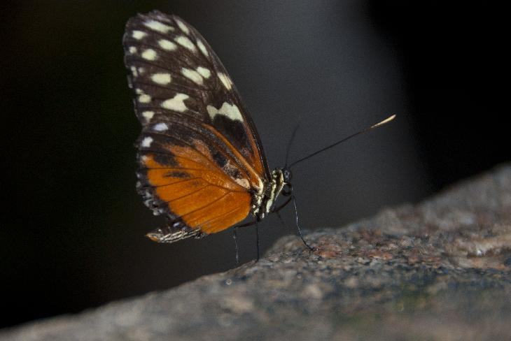 Photo of Regal Fritillary at Niagara Butterfly Conservatory.