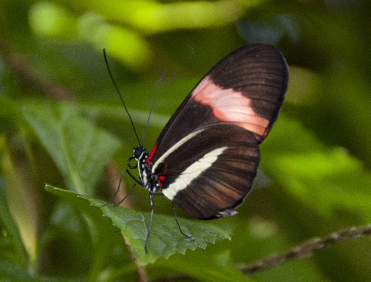 Photo of the Red Postman Butterfly taken at the Niagara Butterfly Conservatory.