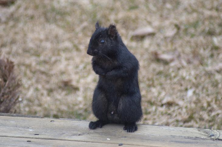 Photo of black squirrel standing on deck.