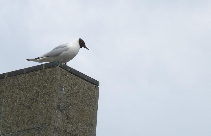 Photo of a black-headed gull.  Taken at a street square in Reykjavik Iceland.