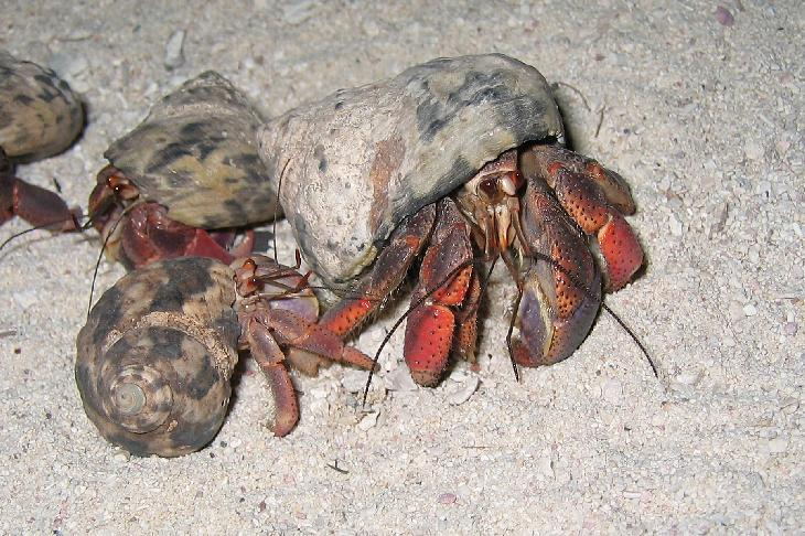 Shot of Hermit Crab, taken during the evening on the beach, at the vacation resort Gran Bahia Principe Coba, in the Mayan Reviera of Mexico.