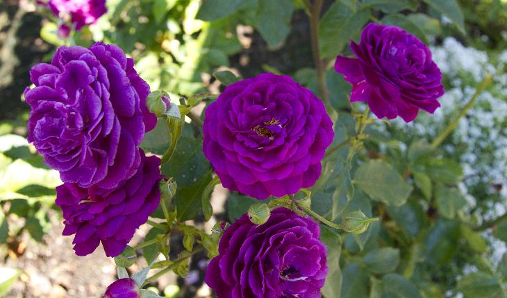 Photo of a purple rose in Rose Garden a Butchart Gardens in Victoria British Columbia.