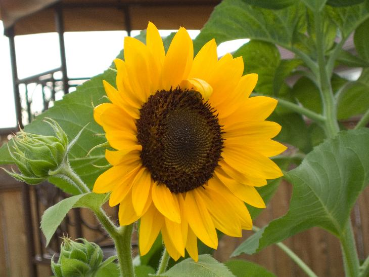 Photo of a Sunflower blooming in a garden.