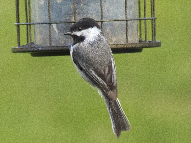 photo of a Black-capped Chickadee at Feeder in Ontario Canada.