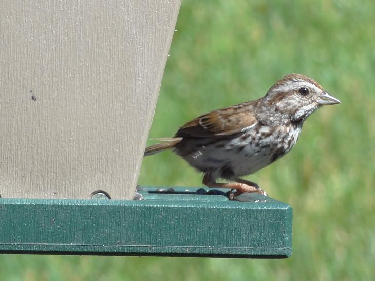 A small juvenile song sparrow, perched at the feeder.