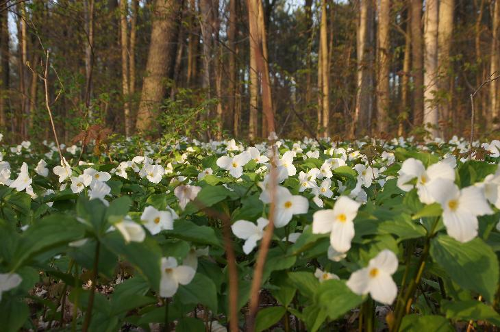 Ground level photo White Trilliums in forest in Ontario.