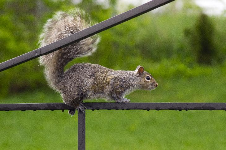 Photo of an Easter Grey Squirrel travelling along the frame of a backyard canopy.