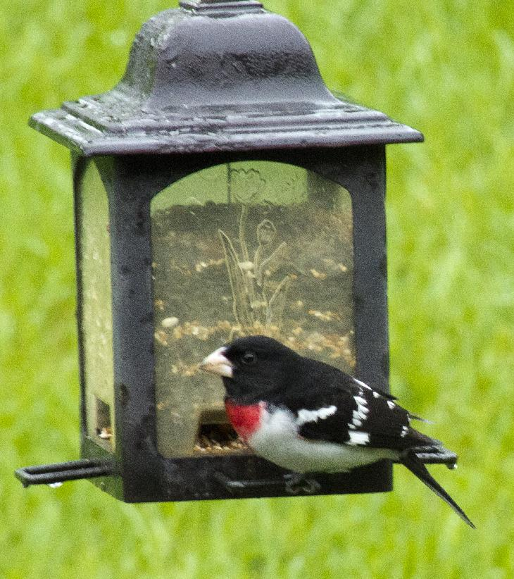 Photo of an adult male Rose-breasted Grosbeak at feeder in Ontario Canada