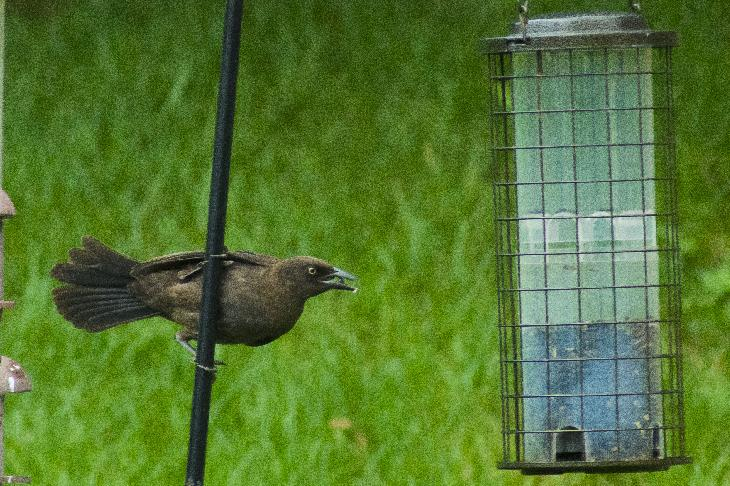 A crow attempting to eat sunflower seeds from a bird feeder.
