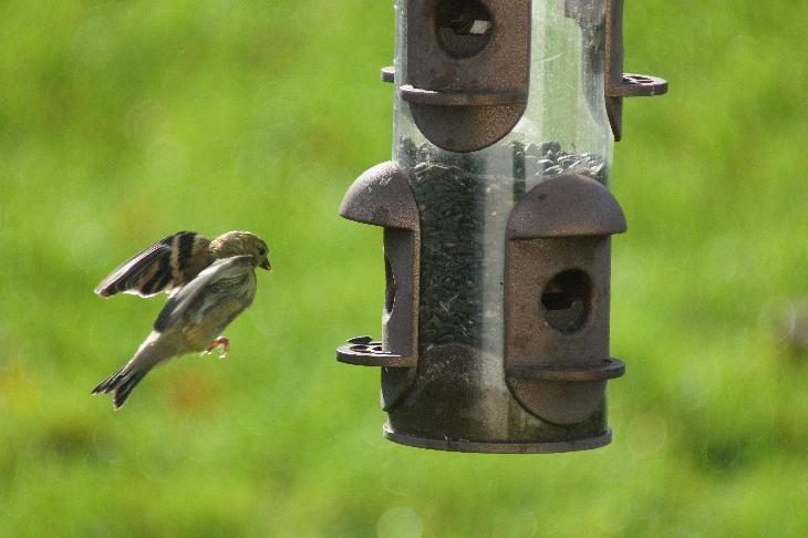 Green finch approaches feeder with wings spread out.