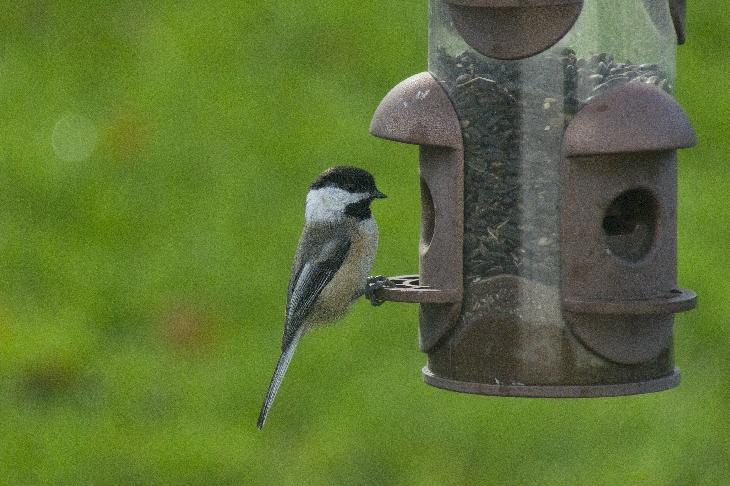 Chickadee feeding on sunflower seeds.