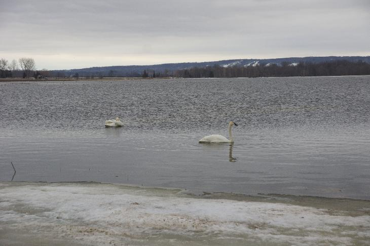 Photo of a pair Trumpeter Swans feeding in a washed out field at Minesing Swamp and Nottawasaga River during the spring swell.