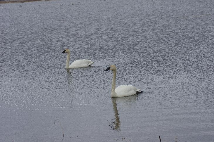 Photo of two white trumpeter swans feeding in the spring over flow of the Nottawasaga River at the entrance to the Minesing Swamp