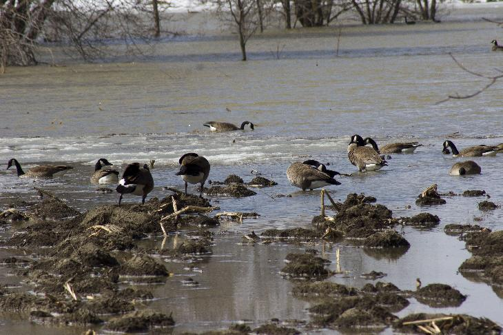 Photo of Canada Geese at the Minesing Swamp in Ontario Canada.