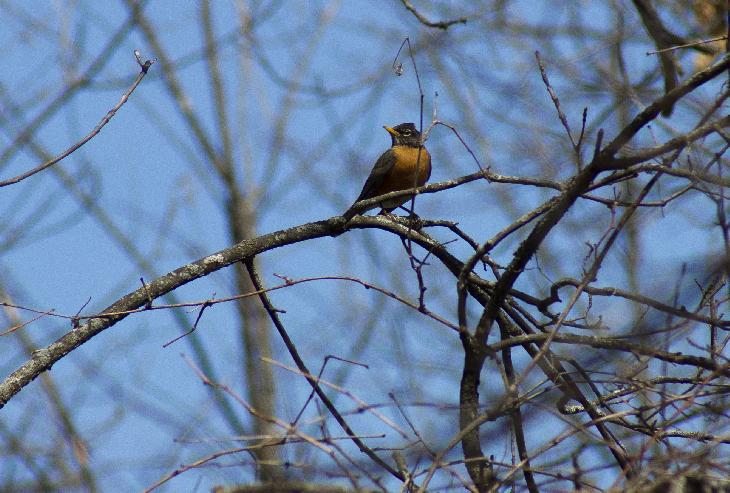 Photo of American Robin in breeding grounds of Minesing Swamp in Ontario.