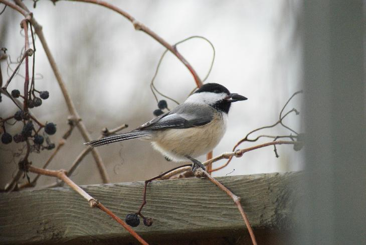 Photo of Black-capped Chickadee with sunflower seed in beak.