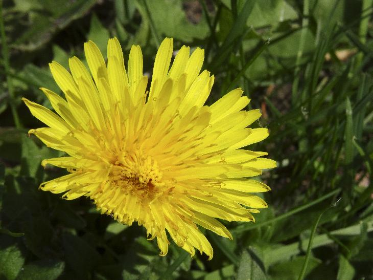 Photo of the dandelion flower in full bloom.
