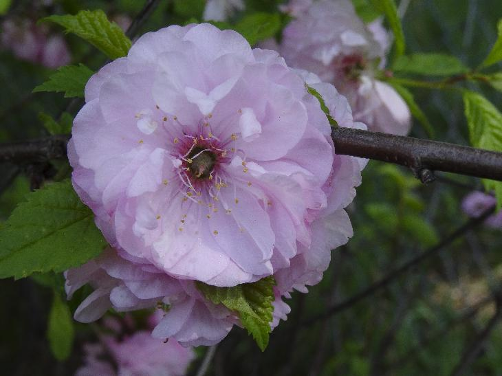Photo of a Flowering Almond blossom.  Also known as Prunus glandulosa.