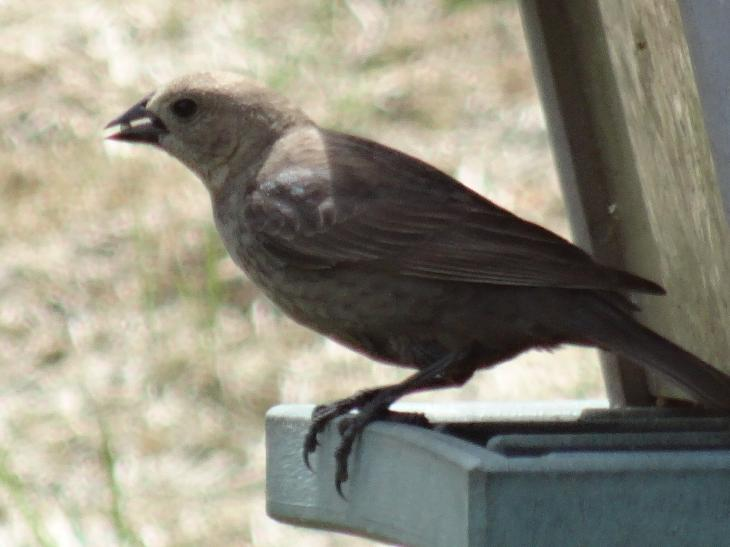 A female brown-headed cowbird at feeder, with seed in beak.  Located in Ontario Canada.