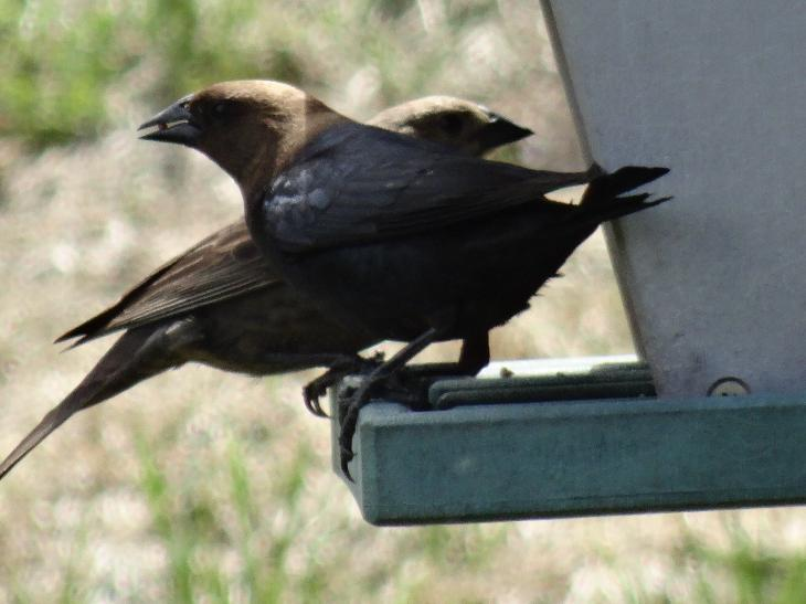 Both a male and female brown-headed cowbird at feeder.  In Ontario Canada.