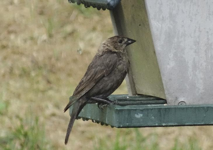 A female brown-headed cowbird, perched at feeder.  The adult male is iridescent black in color with a brown head. The adult female is slightly smaller and is dull grey with a pale throat and very fine streaking on the underparts.