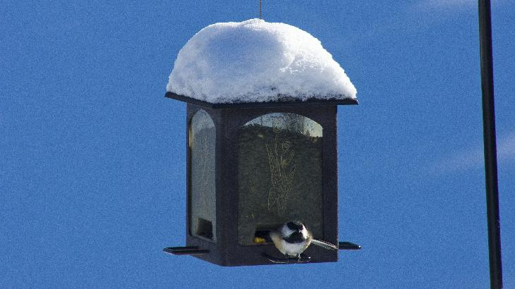 Chickadee eating sunflower seeds in the middle of winter.