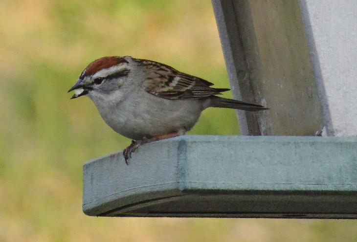 Male and female chipping sparrows look very similar.  This one taken in Barrie, Ontario.