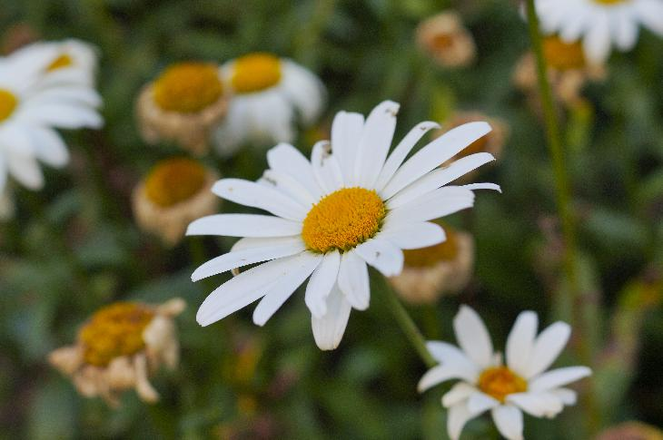 Close of an Ox-Eye daisy in full bloom.  Taken using Sony A57 camera with Sony 35mm f/1.8 DT lens (SAL35F18).
