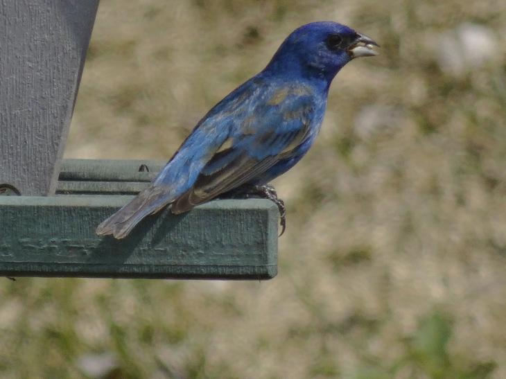 Photo of a blue indigo bunting with a seed in its beak.  The Indigo Bunting is closely related to the Lazuli Bunting and interbreeds with the species where their ranges overlap.