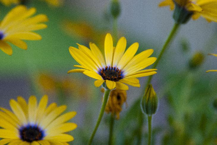 Close-up photo of yellow daisy in garden.