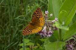 Photo od the Great Spangled Fritillary (Speyeria cybele) taken in Algonquin Park Ontario Canada in July of 2007.