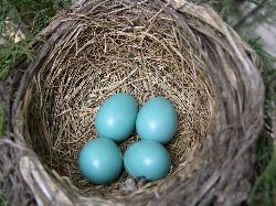 Photo of four eggs in a robins nest, one day before hatching.