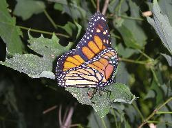 Photo of Monarch Butterly taken in August of 2007, in Ontario.