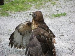 Photo of a captured Red Tailed Hawk (Buteo jamaicensis), taken at the Wye Marsh in Ontario Canada.