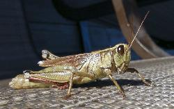 Cloe-up photo of grasshopper on a lawn chair.