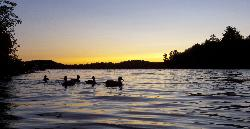 Mallards during sunset on Lake Menominee.
