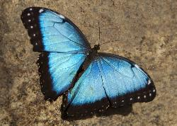 Photo of Blue Morpho butterfly, taken at the Niagara Butterfly Conservatory.  They are Neotropical butterflies found mostly in South America as well as Mexico and Central America