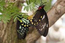 Photo of unidentified butterflies mating.  Taken at niagara Butterfly Conservatory.