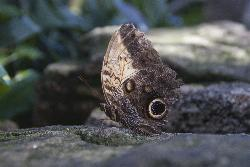 Photo of the Owl Butterfly, taken at the Niagara Butterfly Conservatory.