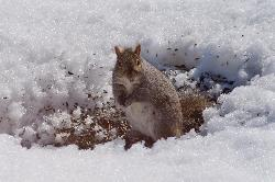 Gray Squirrel in the Snow
