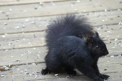 Photo of a black squirrel looking for sunflower seeds on a deck.