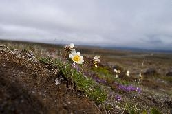 Close-up photo of daisy alone in the soil near Thingvellir in Iceland.  