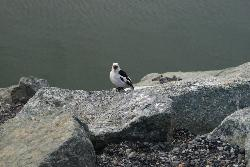 Photo of a Snow Bunting perched on rock at Jökulsárlón (Jokulsarlon)glacier lagoon in Iceland.